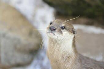 伊豆シャボテン動物公園のカワウソの画像