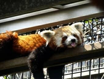 熱川バナナワニ園のレッサーパンダの画像