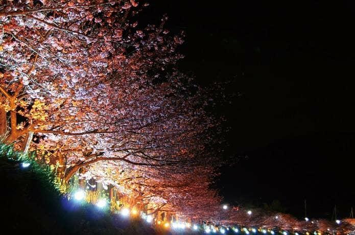 河津桜のイルミネーション