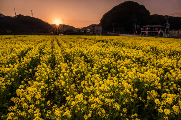 日野の菜の花畑の夕日