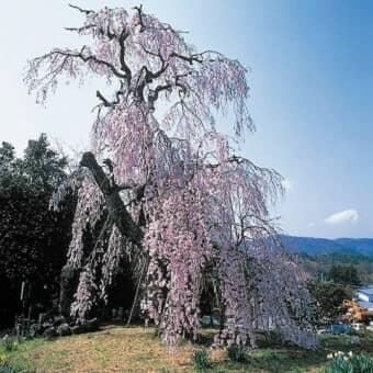 法泉寺のしだれ桜