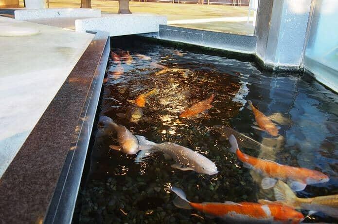 銀水莊の鯉