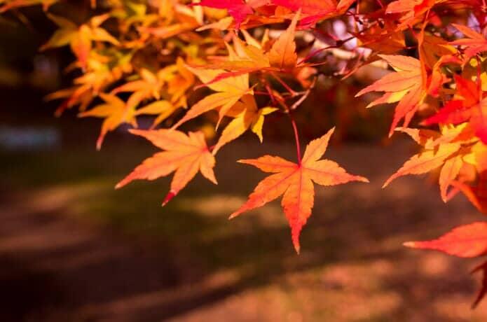 紅葉の見ごろの画像