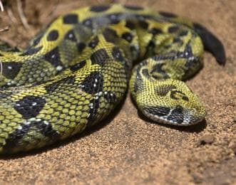 まだら模様のヘビ