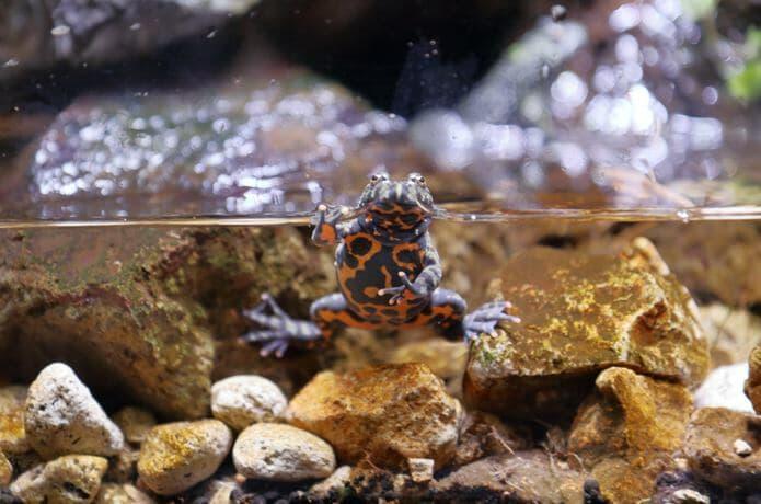水中カエル