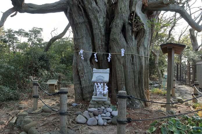 ビャクシン樹林の大木