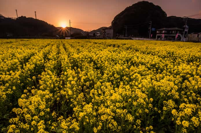 南伊豆町 菜の花