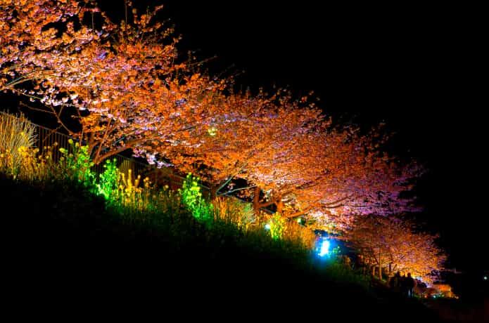 河津町 桜 ライトアップ