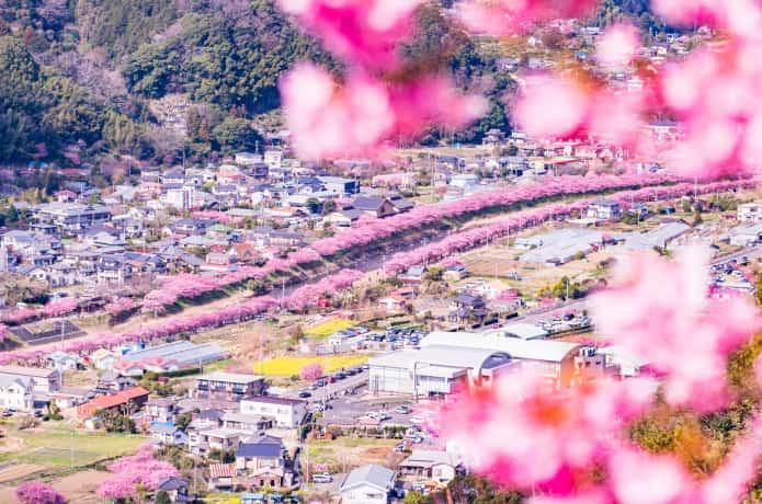 河津城址からみた桜並木