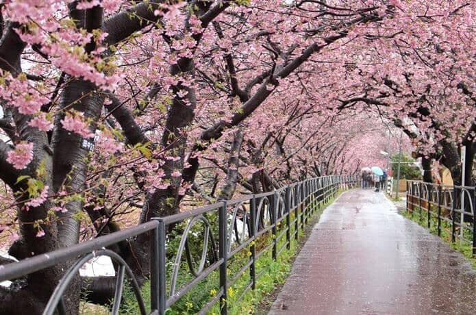 雨と河津桜