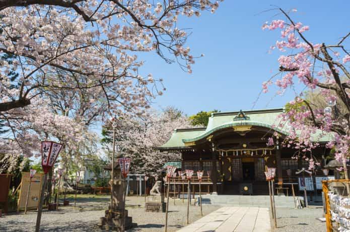 桜咲く沼津日枝神社
