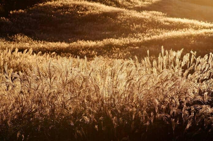 黄金のすすき野原