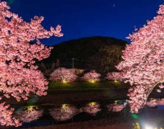 南伊豆町 夜桜